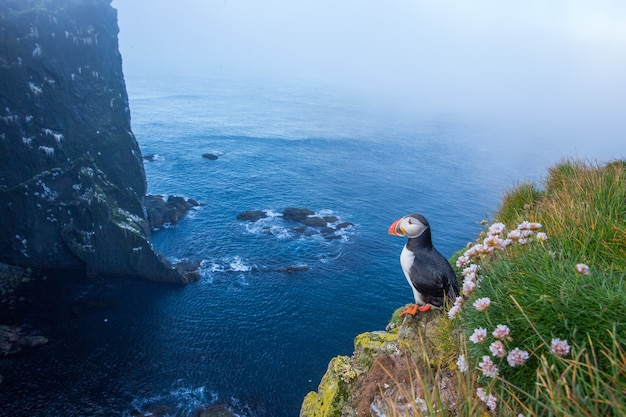 Papageientaucher, der im sommer auf klippe steht.