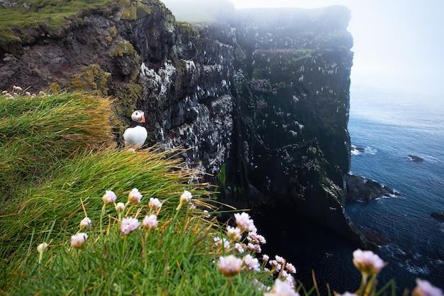 Papageientaucher, der zum ozean auf klippe in island schaut