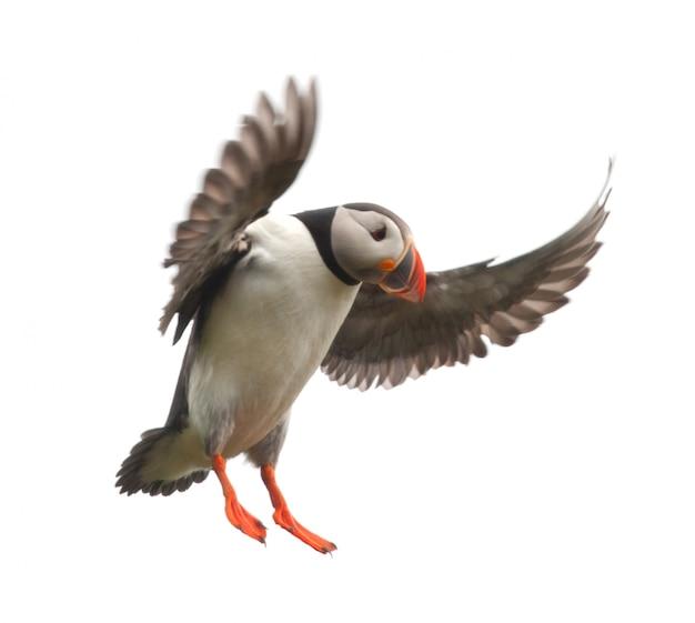 Papageientaucher oder papageientaucher - fratercula arctica im flug