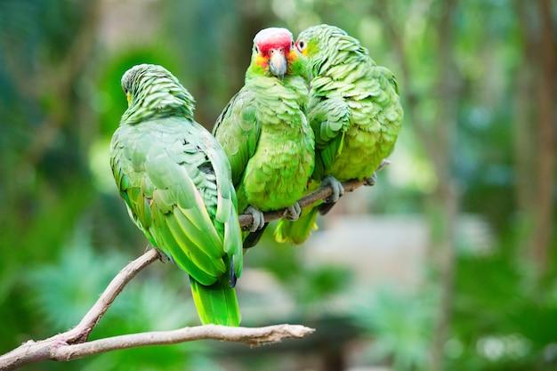 Papageienvogel