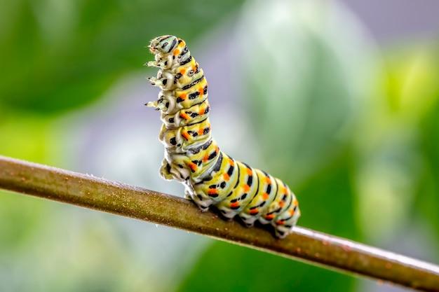 Papilio machaon raupe