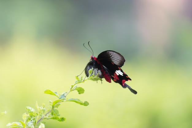 Papilio polytes, auch bekannt als der gemeine mormone, der sich von der blumenpflanze ernährt