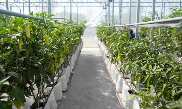 Paprika-chili-garten im gewächshaus in der modernen landwirtschaft
