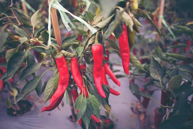 Paprika im gemüsegartenbauernhof