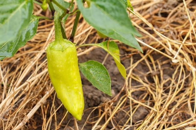 Paprika mit wassertropfen, die auf busch im garten wachsen. trockenes gras im hintergrund. bulgarische oder paprikapflanze. geringe schärfentiefe
