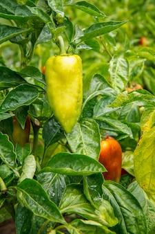 Paprika wächst auf busch im garten. bulgarische oder paprikapflanze. geringe schärfentiefe Premium Fotos