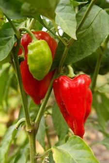 Paprika wächst auf einem busch im garten. bulgarische oder paprikapflanze. geringe schärfentiefe