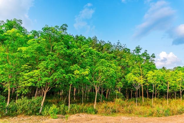 Para-kautschukbaum, latex-kautschukplantage und baumgummi