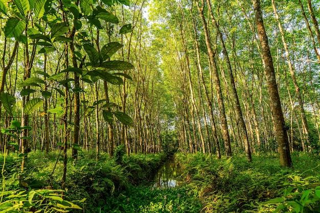 Para-kautschukbaum, latexkautschukplantage und baumkautschuk