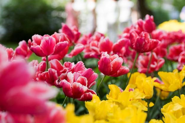 Park der roten und gelben tulpen im frühjahr auf elagin-insel, st. petersburg.