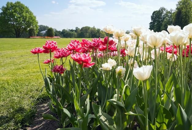 Park der roten und weißen tulpen im frühjahr auf elagin-insel, st. petersburg.