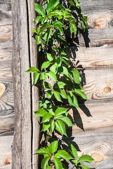 Parthenocissus quinquefolia, bekannt als virginia creeper, victoria creeper, fünfblättriger efeu oder fünffinger, klettert auf holzzaun