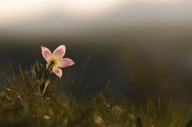 Pasque flower, der auf frühlingsfelsen bei dem sonnenuntergang blüht.