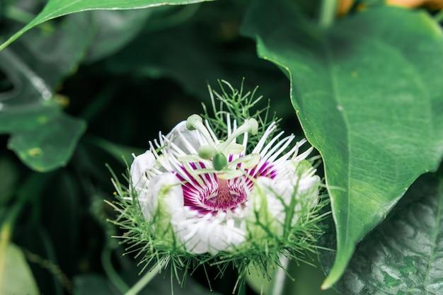 Passiflora foetida nasser regen