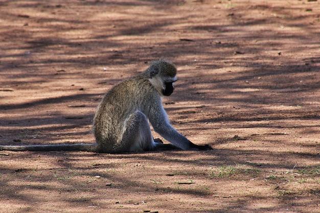 Pavian auf safari in kenia und tansania, afrika