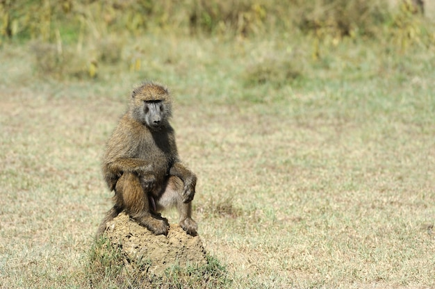 Pavian im nationalpark von kenia, afrika