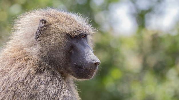 Pavian in freier wildbahn, afrika