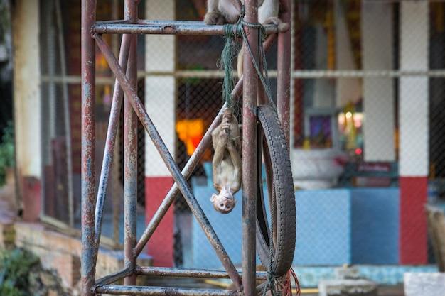 Pavianaffe in einem haus in thailand