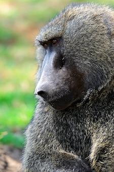 Paviane im natürlichen lebensraum. afrika. kenia.