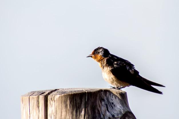 Pazifische schwalbe des vogels (hirundo tahitica) lokalisiert im seeblau in tropischem südasien