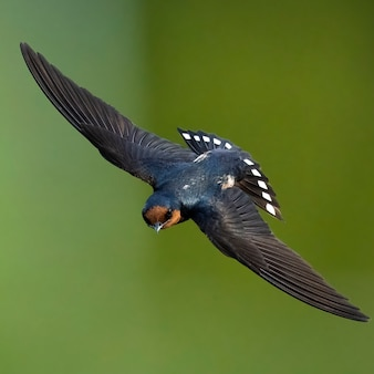Pazifische schwalbe im flug