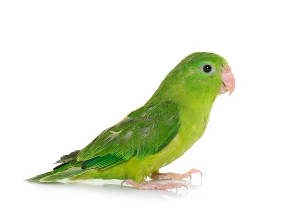 Pazifischer papagei isoliert