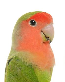 Peach sah lovebird an
