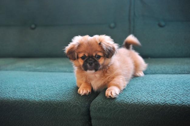 Pekinese. hundemode schöne kleine hunde gekleidet und posiert