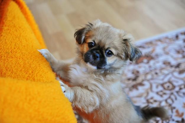 Pekingese löwe-hund, pelchie hund, peke ist eine alte rasse von spielzeug