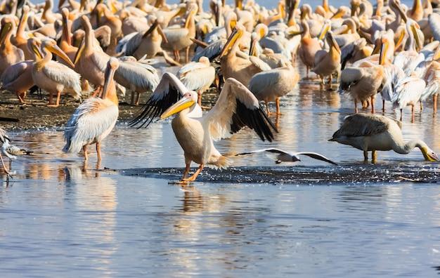 Pelikan auf dem wasser. kenia, afrika