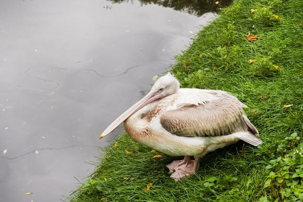 Pelikan, der auf dem gras nahe dem teichzoo moskau russland sitzt.