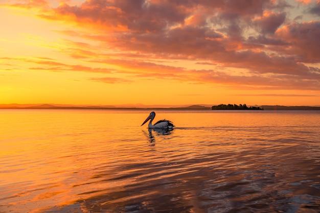Pelikan, der im see unter dem goldenen bewölkten himmel bei sonnenuntergang schwimmt