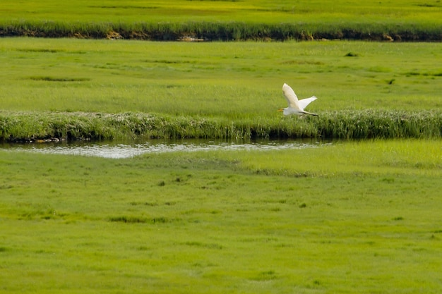 Pelikan, der über einen kleinen fluss in einem großen grünen schönen feld fliegt