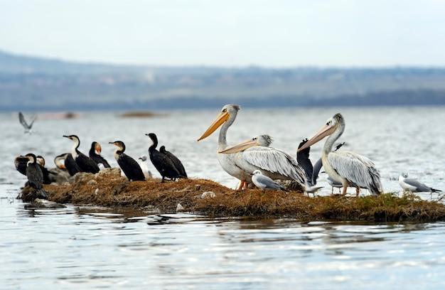 Pelikan im afrikanischen lebensraum am see