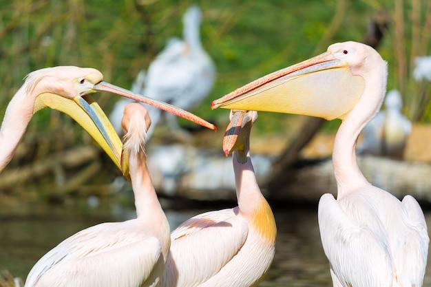 Pelikan oder rosa pelikangruppe oder -familie draußen.
