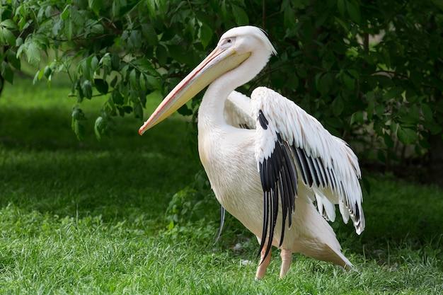 Pelikan oder rosafarbener pelikan