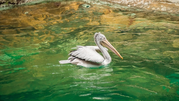 Pelikan schwimmt auf dem wasser