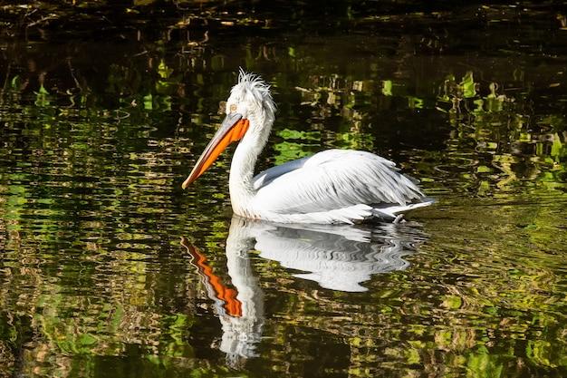 Pelikan schwimmt im teich