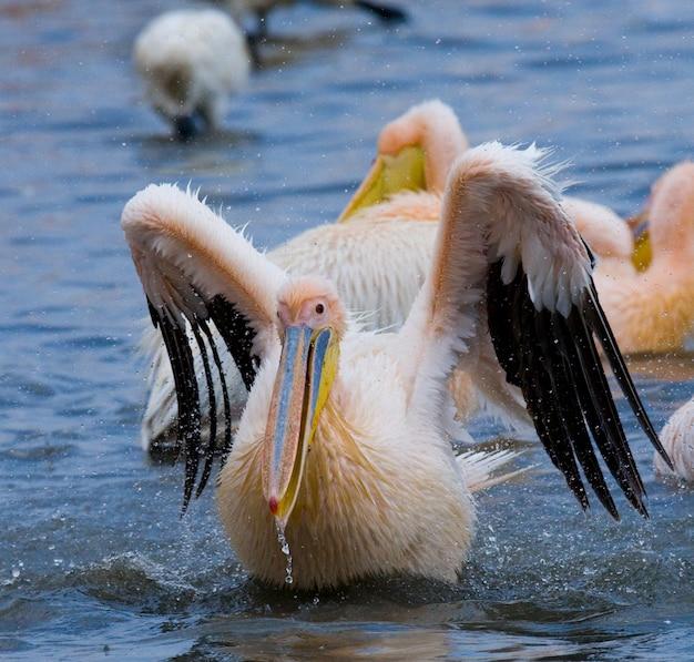 Pelikan schwimmt im wasser im ganzen spray von.