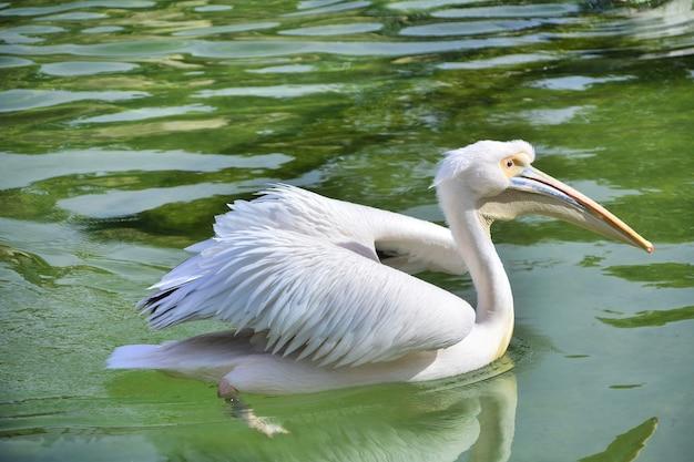 Pelikan see wasser schwimmen wassertiere