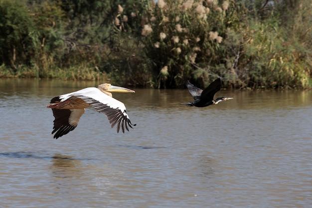 Pelikan und kormoran fliegen