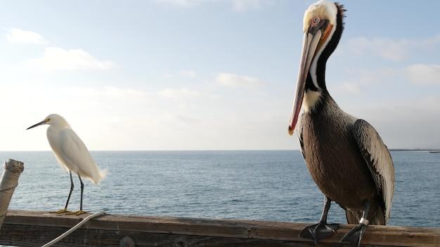 Pelikan und weißer schneebedeckter reiher auf piergeländer, kalifornien usa. ozeanseestrand, küstenreihervogel.