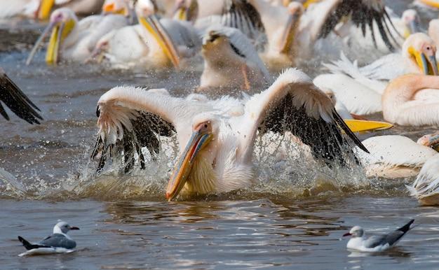 Pelikane auf dem see. see nakuru.