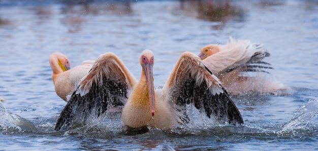 Pelikane auf dem see.