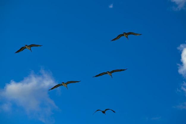 Pelikane, die zusammen auf blauen himmel fliegen