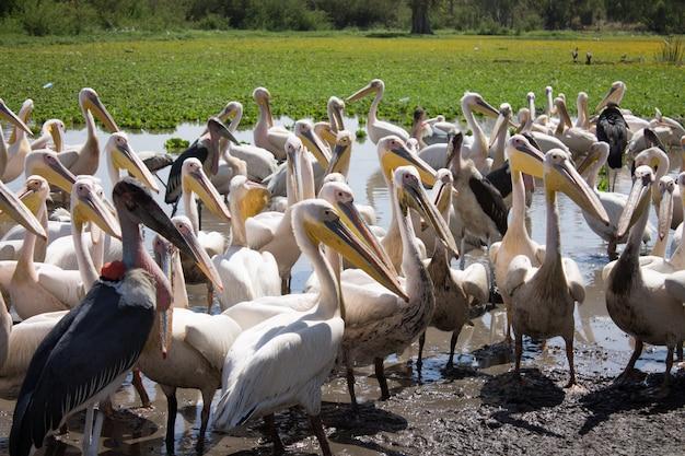 Pelikane und marabu