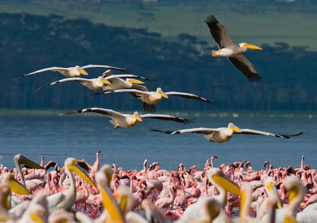 Pelikanschwärme fliegen über den see.