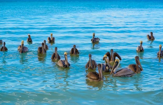 Pelikanvögel, die in karibik schwimmen