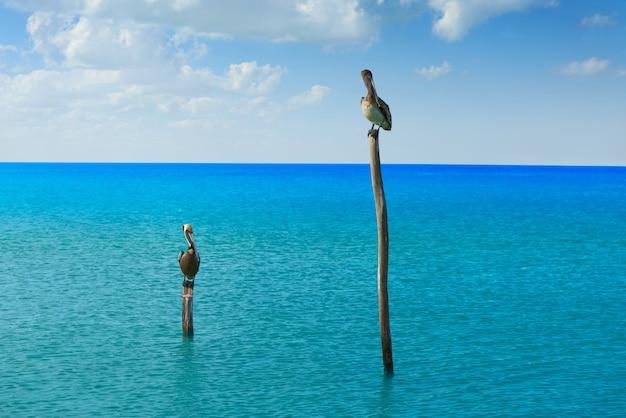 Pelikanvögel im karibischen strand mexiko