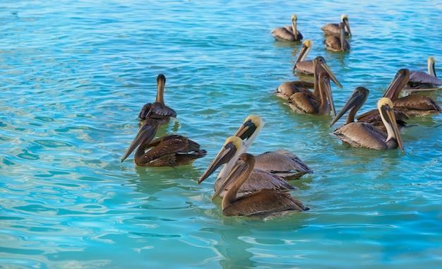 Pelikanvögel in karibischem mexiko